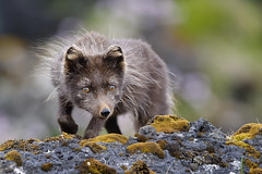 Arctic Fox (Vulpes lagopus fuliginosus) (Gudmann) Tags: nature animal animals is iceland wildlife hunting fox sland nttra vestfirir arcticfox alopexlagopus refur skotveii tfa melrakki vulpeslagopusfuliginosus