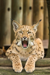 yawing lynx (Cloudtail the Snow Leopard) Tags: zoo karlsruhe cat katze luchs lynx kapartenluchs cloudtailthesnowleopard