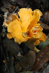 Fungus on the Forest Floor (photographerp) Tags: macro nature florida wildlife fungus lichen nikon105mmf28g nikond80 detritivore suwanneeriverstatepark robertgundy