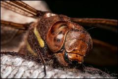 Trollslända (på min strumpa) (Jonas Thomén) Tags: macro closeup sock dragonfly flash makro närbild trollslända blixt strumpa