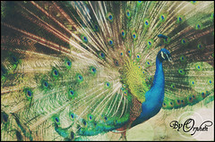 Let me see your peacock (Orphen 5) Tags: animal animals peacock baird peacocktail katyperry tumblr