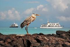 Great Blue Heron (blinkingidiot) Tags: holiday beach heaven wildlife greatblueheron photomix galapagosislands flickrdiamond blinkagain bestofblinkwinners blinksuperstars rememberthatmomentlevel1 flickrsfinestimages1 vigilantphotographersunite vpu2 vpu3 vpu4 vpu5 vpu6 vpu9 vpu10