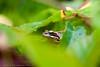 _MG_0394 (Den Boma Files) Tags: fauna dieren kikker amfibieen stropersbos