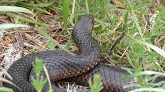red bellied black snake (bugminer) Tags: snake redbelliedblacksnake