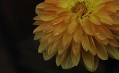 """October Dahlia - """"Maxi-Novia"""" (GOR44Photographic@Gmail.com) Tags: dahlia flower macro canon100mm gor44 maxinovia"""