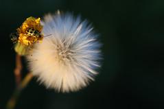 Puffy (eyesontheskies) Tags: bug weed backyard