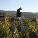 2012 Dilworth Cabernet Harvest 0005