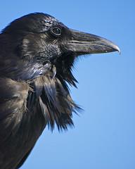 Raven (wplynn) Tags: raven corvid corvids