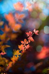 20121003_DSC7452.jpg (Rein -e- Art) Tags: autumn red plants tree rot nature leaves season focus dof bok