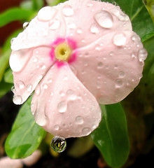The beauty of one little droplet. (Marythere) Tags: pink beauty droplet vinca