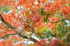 Autumn Fire (Jacky Parker Floral Art) Tags: autumn macro tree fall nature colors leaves horizontal closeup season landscape japanese leaf maple stem branch colours foliage acer greens change format oranges reds orientation palmatum