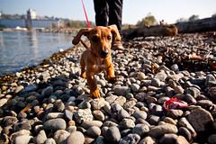 Lenny! (project-b) Tags: dog andy puppy megan lenny dachshund wiener wienerdog newbrighton