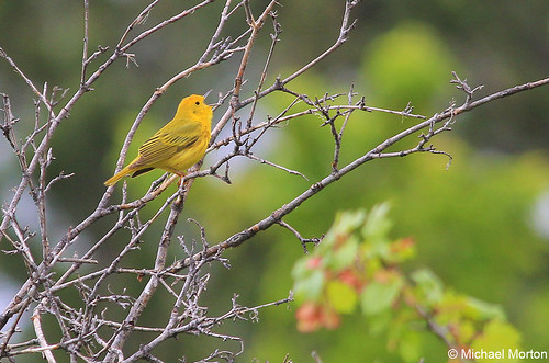 Photo - Yellow Warbler