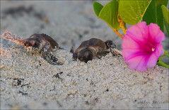 flower power. (evelyng23) Tags: 112 sunrise carettacaretta reptile iexplore scout interestingness explore i500 7282016 conserveturtles conservation threatened seaturtle florida usa turtle loggerhead hatchlings babies wildlife nature beach flower flowerpower sand goinghome nest raildroadvineflower turtletracks tamron 70200mmf28 15xtc pentaxk3 aficionados pentax archiecarrnationalwildliferefuge nwr