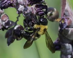 Bee_SAF1078 (sara97) Tags: bee copyright2016saraannefinke endangered flyinginsect insect missouri outdoors photobysaraannefinke pollinator saintlouis towergrovepark