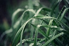 Silver Showers (Kapuschinsky) Tags: macro green leaves rain closeup moody minolta fineart daffodil raindrops emotive fineartphotography rainshower sonyalpha minoltabeercan sonya700 kapuschinsky