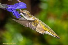 Ruby-throated Hummingbird (Archilochus colubris) (danielusescanon) Tags: wild rubythroatedhummingbird archilochuscolubris birdperfect animalplanet maryland brooksidegardens