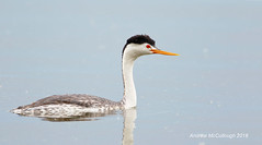 Clark's Grebe (Let there be light (A.J. McCullough)) Tags: birds oregon klamathfalls grebe clarksgrebe featheryfriday