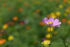 DSC02168 (Zengame) Tags: hamarikyu hamarikyugardens rx rx1 rx1r rx1rm2 rx1rmark2 sony zeiss cc cosmos creativecommons flower japan tokyo           jp