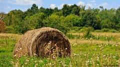 Gold, Baled in the Meadow (Bob's Digital Eye) Tags: bobsdigitaleye canon canonefs55250mmf456isstm farm farming flicker flickr harvest hay organictexture outdoor rurallife t3i landscape field