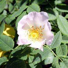 pomerania wild rose (kexi) Tags: wild rose square pink flower green jastrzebiagora poland polska pomorze pomerania canon june 2015 instantfave
