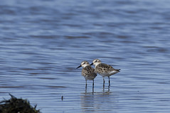 They have arrived! (Natimages) Tags: migration migratorybirds shorebirds waterbirds water birding pentaxk3 da3004 nature riviretroispistoles qubec stlawrenceriver