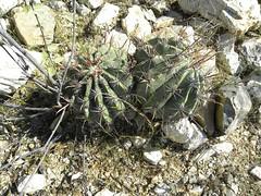baja-0552 (Robby's Sukkulentenseite) Tags: bajasur cacti cactus ferocactus fnrrb1064 ka1147s kakteen kaktus mexiko peninsulae rb1064 reise sierralagata standort townsendianus