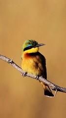 Little Bee-eater, Merops pusillus (Dan Bromley Photography) Tags: bird canon wildlife africa beeeater animalplanet