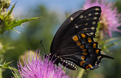 Papilio polyxenes (Robert Sinclair) Tags: papiliopolyxenes monmouthcounty newjersey butterfly thistle blacksawllowtail