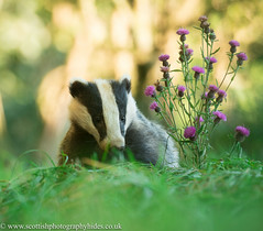 24th August 2016 Badger (Fudgey2010) Tags: