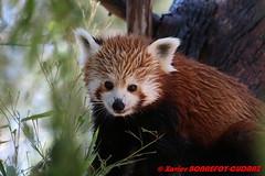 Canberra Zoo - Red panda (Firefox) (soyouz) Tags: aus australiancapitalterritory australie curtin geo:lat=3530070093 geo:lon=14906943693 geotagged animals pandaroux canberra australiel