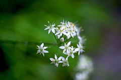 Leek flowers (tez-guitar) Tags: flower blossoms bloom tamron macro pentax pentaxart petal park autumn autum garden machida machida