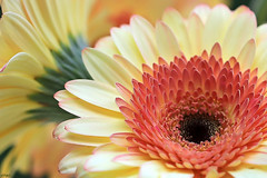 Happy colourful Weekend! (eleni m) Tags: flowers bloemen gerbera weekend colourful plant dof happy petals
