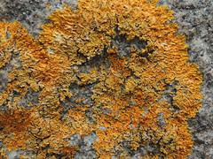 Maritime Sunburst Lichen (Anita363) Tags: lichen orange coast seashore coastal littoral maritimesunburstlichen xanthoriaparietina xanthoria teloschistaceae lecanoromycetes teloschistales ascomycota fungus