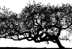 Three Trees, CDT, left tree (tanngrisnir3) Tags: california landscape trees tree treesdiestandingup blackandwhite bw blackwhite profile panasonicgh4 panasonic714 corraldetierra montereycounty sanbenancio