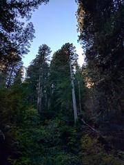 (npdoty) Tags: orick california unitedstates prairiecreek sequoiasempervirens