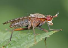 Limnia unguicornis (jean-danielechenard1) Tags: limniaunguicornis insecte diptre animal sciomyzide arthropoda brachycera sciomyzidae limnia hexapoda neoptera muscomorpha