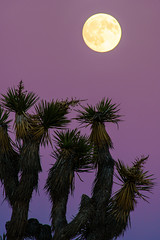 Full Moon Over Joshua Tree (tltichy) Tags: yuccavalley blue desert fullmoon hidesert joshuatree joshuatreenationalpark mojave moonrise purple socal southerncalifornia southwest southwestern tree unitedstates