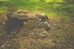 Wild Mushrooms (Asif A. Ali) Tags: powershot canon park g1x ottawa markii asifalicom asifaali gatineau quebec canada nature