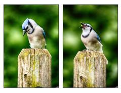 Do I Want It? Yah I Want It! (flashfix) Tags: september102016 2016 2016inphotos nikond7000 nikon ottawa ontario canada 55mm300mm bird portrait diptych pair dual food feed bluejay nature mothernature