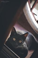 Shiva - The black panther (rubenoteroaudiovisual) Tags: cat gate feline felina hem bra animal black panther negra love amor beautiful canon 50mm lens