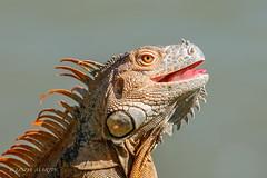 Iguana (Linda Martin Photography) Tags: canoneos5dmarklll portlimon nature reptile iguana wildlife costarica coth ngc coth5 npc