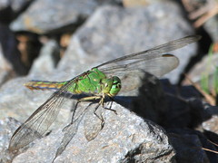 The 2nd coming of summer! (Paridae) Tags: dragonfly dragonfliesofbritishcolumbia dragonfliesofthewetlands femaledragonfly femalepondhawk erythemiscollocata odonata insectsofbritishcolumbia insecteaters thingswithwings afewofmyfavouritethings canoneos7d