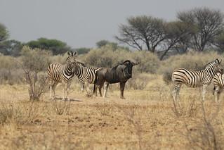 Namibia Plainsgame Hunt - Kalahari Desert 14