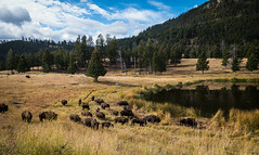 To the watering hole (Carolannie: out and about, not lost yet) Tags: bison yellowstonenpwy wyoming lightroom lightroompresests vignette sonyrx100m2 herdofbison reflections autumn fall bisonofyellowstone bisonbison americanbison abigfave