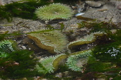 Seal Rock, OR - Giant Green Anemone (jrozwado) Tags: northamerica usa oregon sealrock statepark beach anemone seaanemone tidepool wildlife