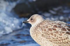 Seagull @ The Baltic Sea (madbesl) Tags: mwe seagull vogel bird animal ostsee balticsea natur nature bokeh laridae meer sea schnabel auge eye nikon d5100 nikkor55300