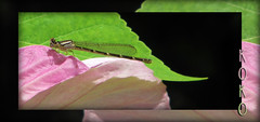 damselfly on pink hardy hibiscus (Koko Nut, it's all about the frame) Tags: pink flower green garden insect hibiscus frame damselfly hibiscusmoscheutos hardyhibiscus