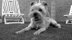 El pequeo de la casa (a12robert18) Tags: dog cute sol yorkie animal del puppy toy amigo yorkshire mini el buddy perro terrier cachorro verano mascota hombre tomando pedigree mejor tumbado dicen juguetn segn