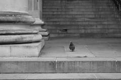 R0015660 (Sigfrid Lundberg) Tags: copenhagen stair pigeon pigeons pillar nytorv zm pelare byret newmarketsquare tingsrtt csonnart1550 zeiss50mmf15csonnarzm kbenhavsbyret
